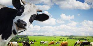 دراسة جدوى مزرعة أبقار في تركيا